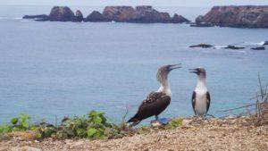 Piqueros patas azules en Isla de la Plata