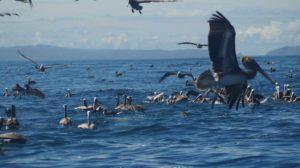 Cigueñas volando y descansando en el mar, en Manabí, Ecuador