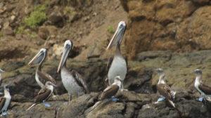 Pelicanos en Isla de la Plata
